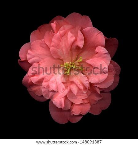 Beautiful bright orange camelia flower on black background - stock photo