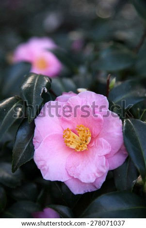 Beautiful bright pink Camellia flower surrounded by green leaves - stock photo