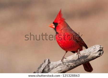 Beautiful bright red Northern Cardinal male sitting on a dry limb - stock photo