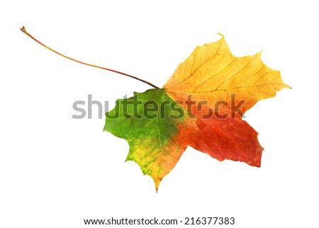 Beautiful bright vibrant tricolor autumn leaf in shades of red, green and yellow showing the changing of the seasons isolated on a white background - stock photo