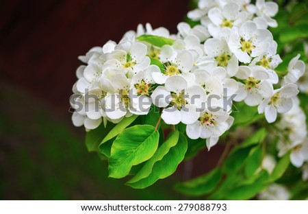 Beautiful bright white flowers and green leaves on a tree branch. Shallow depth of field. Selective focus. - stock photo