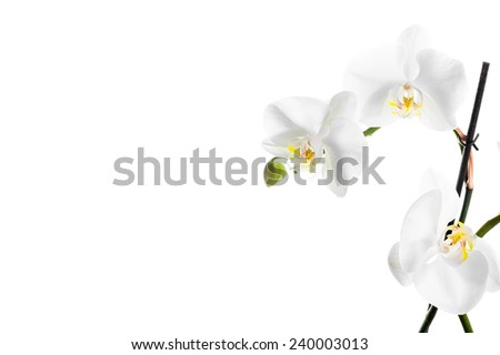 Beautiful bright white orchid with yellow pistils on isolated white background - stock photo