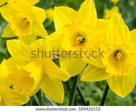 Beautiful, bright yellow daffodils, glowing in the Spring sunshine. - stock photo