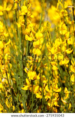 Beautiful bright yellow flowers on background - stock photo