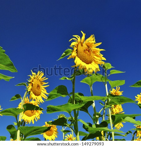Beautiful bright yellow sunflower, or Helianthus, grown in agriculture for its seeds and oil, growing outdoors in a sunny field - stock photo
