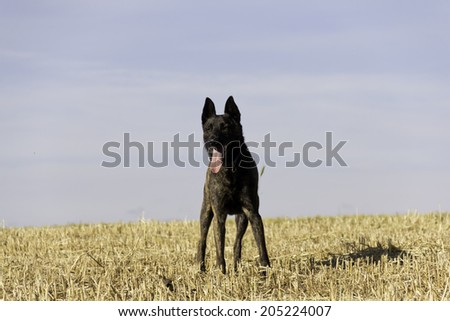 Beautiful brindle dog stands in stubble field looking towards camera - stock photo