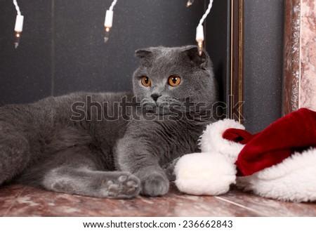 beautiful British cat in a New Year's cap  - stock photo