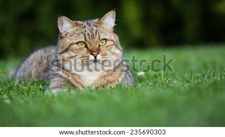 Beautiful british short-hair domestic cat resting on the grass outside his house - stock photo
