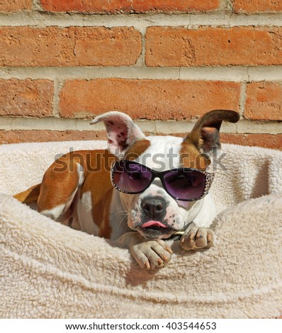 Beautiful brown and white bulldog cross dog wears his sunglasses and sticks out his tongue while he relaxes in his bed in the sunshine - stock photo