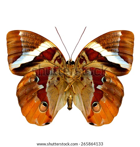 Beautiful Brown Butterfly,an exotic butterfly in fancy color profile isolated on white background - stock photo