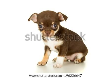 Beautiful brown chihuahua puppy sitting - stock photo