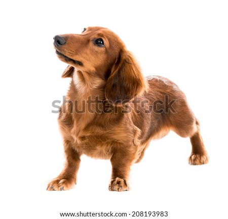 Beautiful brown dog breed dachshund on white background - stock photo
