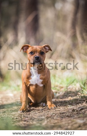 beautiful brown female stafford bull terrier posing outside in the forest - stock photo