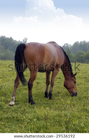 Beautiful brown horse is eating grass on the meadow - stock photo
