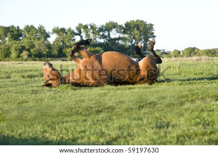 beautiful brown horse rolling on the grass - stock photo