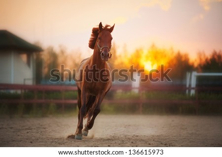 beautiful brown horse running in the paddock at sunset - stock photo
