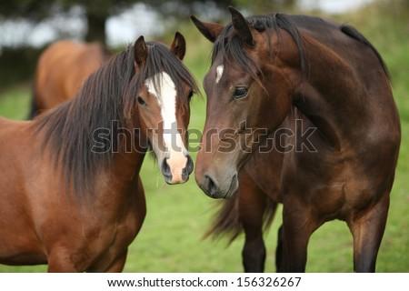 Beautiful brown horses on pasturage in autumn - stock photo
