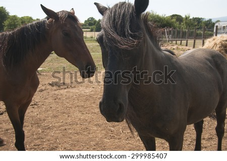 Beautiful brown horses on pasture in summer - stock photo