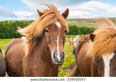 Beautiful brown icelandic horses in nature. Southern Iceland. - stock photo