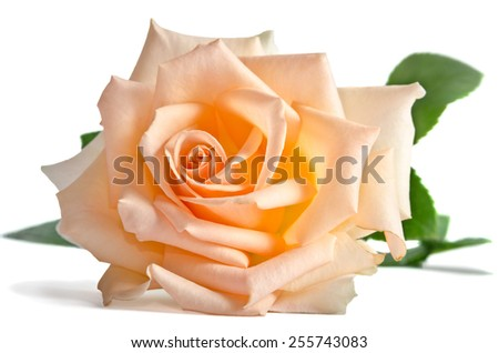 beautiful bud of creame rose lying down on a white background - stock photo