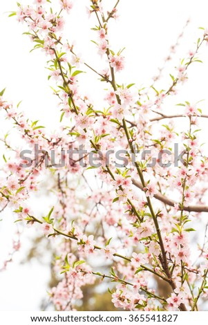 Beautiful bunches of Sakura (Japanese cherry ) flowers on a spring day.  - stock photo