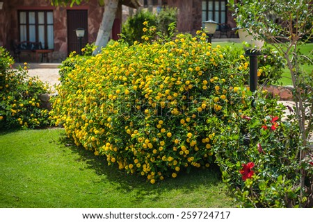 Beautiful bush with yellow flowers on the hotel in Egypt - stock photo