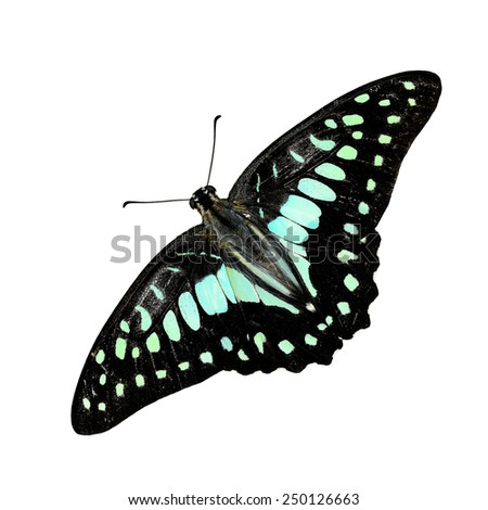 Beautiful butterfly, Common Jay butterfly, Graphium doson isolated on white background - stock photo