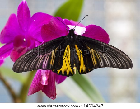 Beautiful butterfly ( goliath birdwing ) on orchid - stock photo