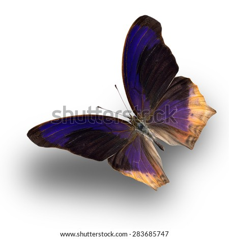 Beautiful butterfly Large Assyrian upper wing profile flying up. - stock photo