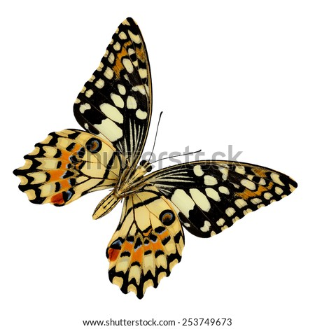 Beautiful butterfly, Lime Butterfly lower wing profile isolate on white background.(Papilo demoles) - stock photo