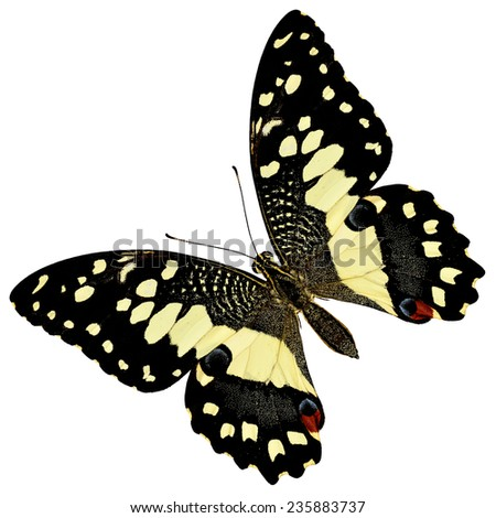 Beautiful butterfly, Lime Butterfly upper wing profile isolate on white background.(Papilo demoles) - stock photo