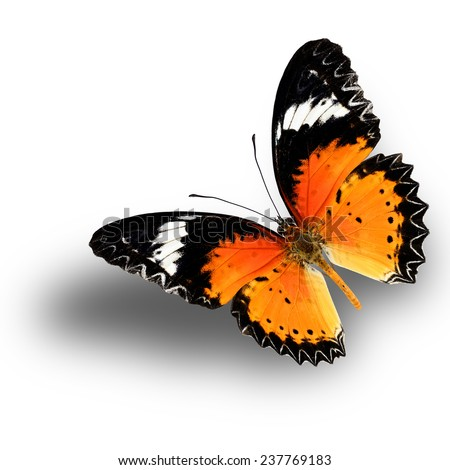Beautiful butterfly, Malay Lacewing, Leopard Lacewing butterfly upper wing profile flying up. - stock photo