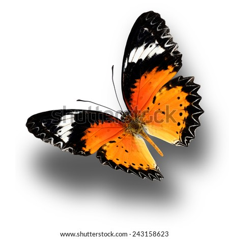 Beautiful butterfly, Malaya Lacewing, Leopard Lacewing upper wing profile flying up. - stock photo