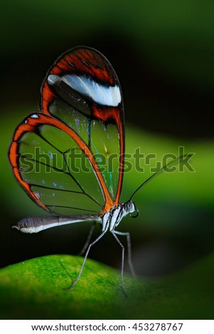 Beautiful butterfly, Nero Glasswing, Greta nero, Close-up of transparent glass wing butterfly on green leaves, scene from tropical forest, Costa Rica, resting on a green leaf, beautiful insect. - stock photo