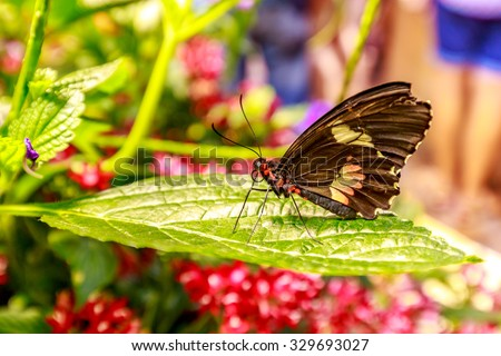 Beautiful butterfly observed in the Butterfly Conservatory of American Museum of Natural History. - stock photo