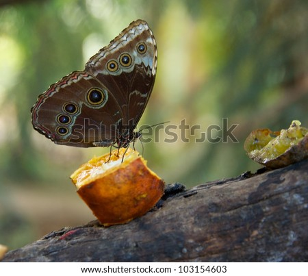 Beautiful butterfly on a peace of fruit. - stock photo