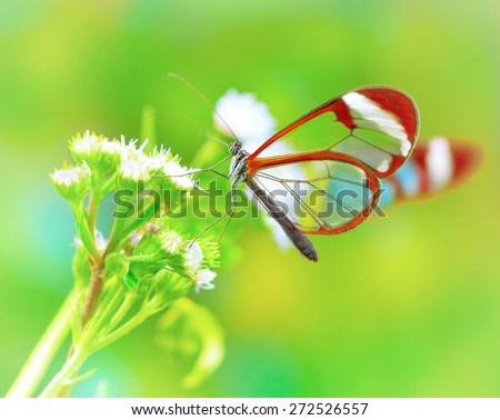 Beautiful butterfly sitting on fresh wild flower in the forest, Glasswinged butterfly, Greta oto, gorgeous insect from Costa Rica, Central America - stock photo