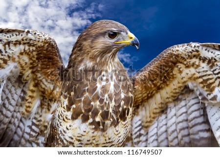 Beautiful buzzard bird Buteo Buteo - stock photo