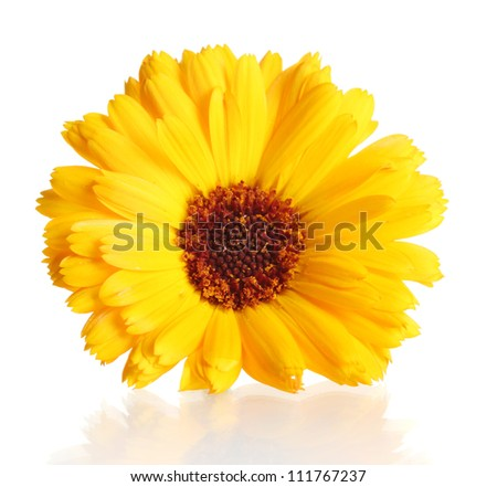 beautiful calendula flower, isolated on white - stock photo