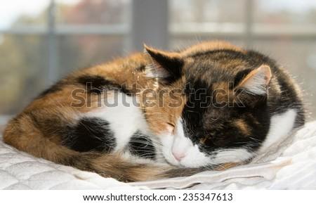 Beautiful calico cat asleep against a sunny window - stock photo