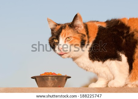 Beautiful calico cat eating kibble outdoors, in spring evening sun - stock photo