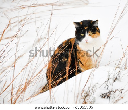 Beautiful calico cat in snow on a cold gray winter day - stock photo
