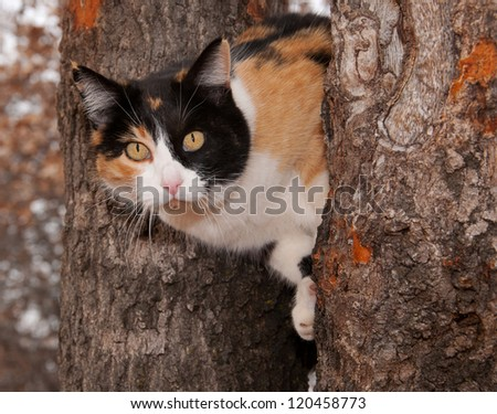 Beautiful calico cat peeking through two tree trunks - stock photo
