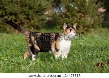 Beautiful calico cat walking grass - stock photo