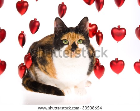 Beautiful calico cat with strings of red shiny valentine hearts, on white background - stock photo