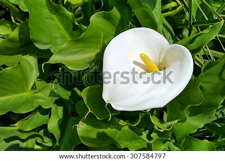 Beautiful calla flower on green natural background - stock photo