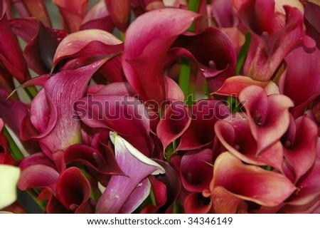 Beautiful Calla Lilies - stock photo