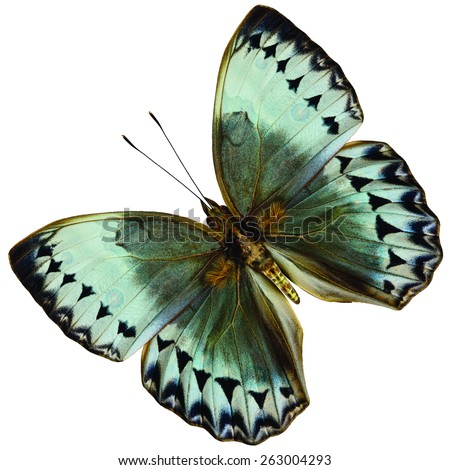 Beautiful Cambodia Junglequeen butterfly, the very rare of Thailand's specie, upper wing portion in natural color profile isolated on white background - stock photo