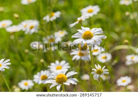 Beautiful camomile flowers growing and blooming in nature. Macro shoot. - stock photo