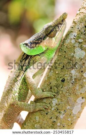 Beautiful camouflaged chameleon in Madagascar, presumably the Green-eared Chameleon (Calumma malthe) - stock photo